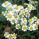 Chamomile, Yeast infections